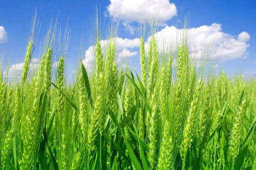 مهلت بیمه محصولات کشاورزی در استان قزوین تمدید شد